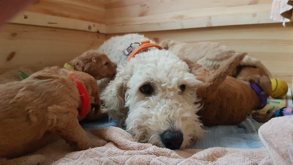 17 Tage alte Goldendoodlewelpen, hier Lenny und Jette vorn und Josi dahinter, lernen das Laufen. Die Mutti ist schon öfter genervt.