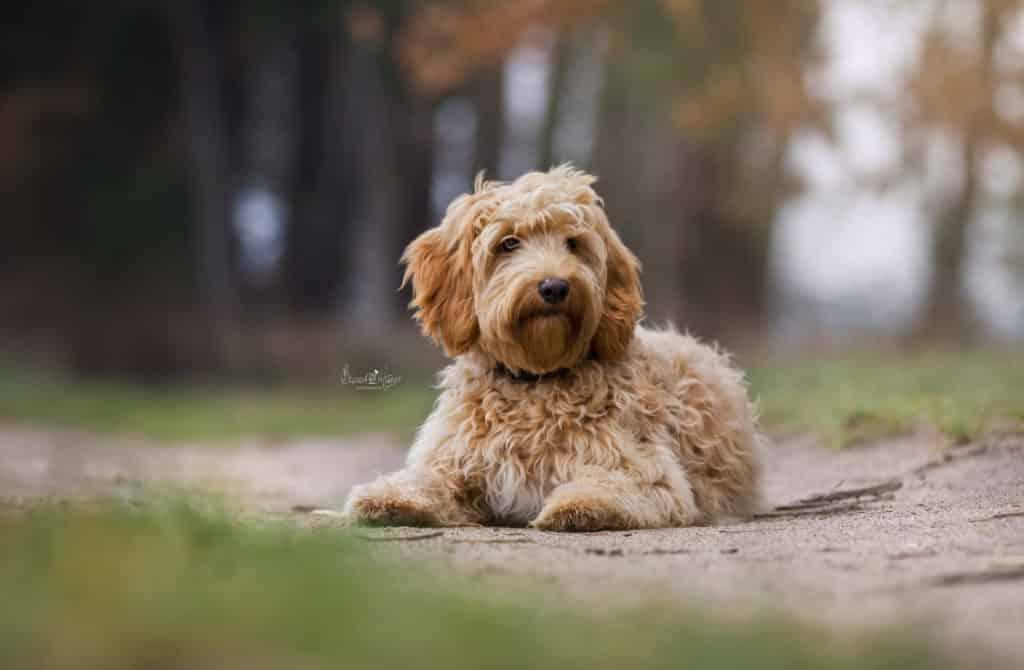 Goldendoodle Fine im Alter von 6 Monaten