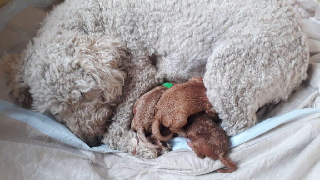 Die Goldendoodlemutter mit ihren frisch geborenen Babys