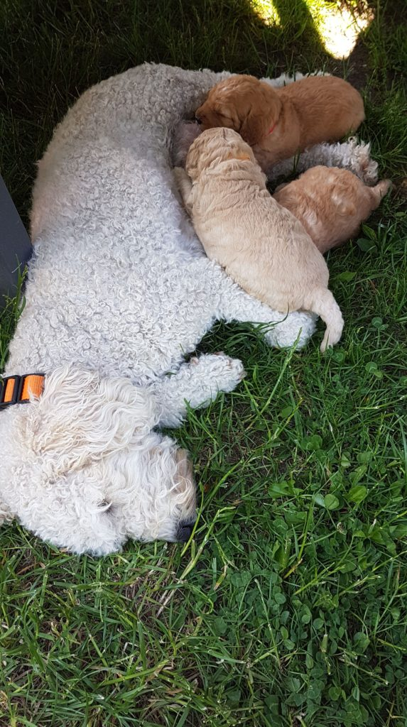 Der erste Ausflug in den Garten, suchen die Welpen die Nähe der Mama Lotti
