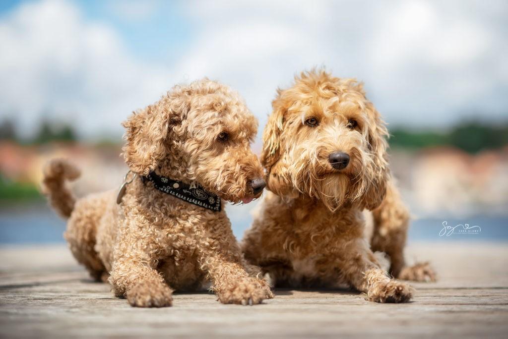 Goldendoodles Fine und Aramis