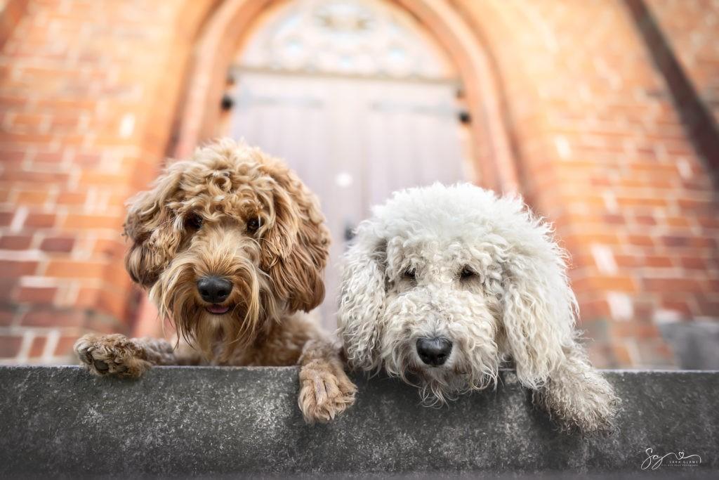 Goldendoodles- Lotti und Fine