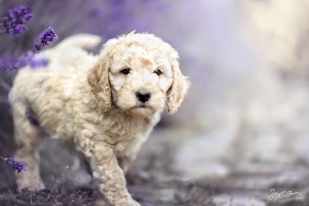 Welpe in Lavendel