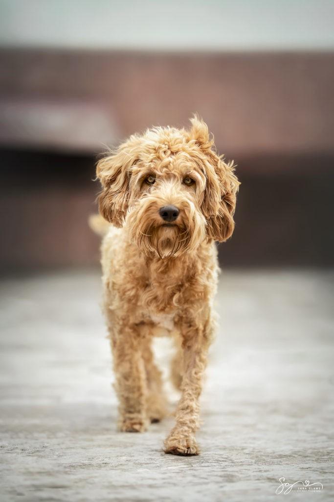 Fine ist ein Goldendoodle wie aus dem Bilderbuch, so wunderschön