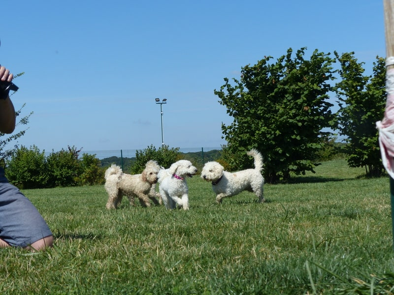 Goldendoodles beim Spielen