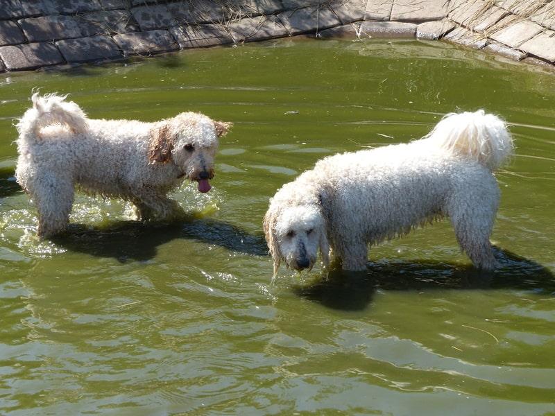 Goldendoodles beim Baden